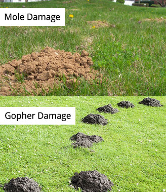 Graphic of mole damage versus gopher damage