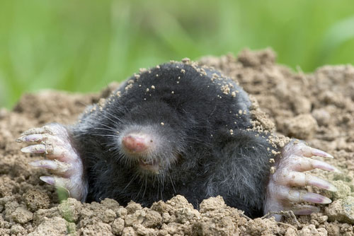 Image of a ground mole
