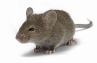 Image showing a common house mouse