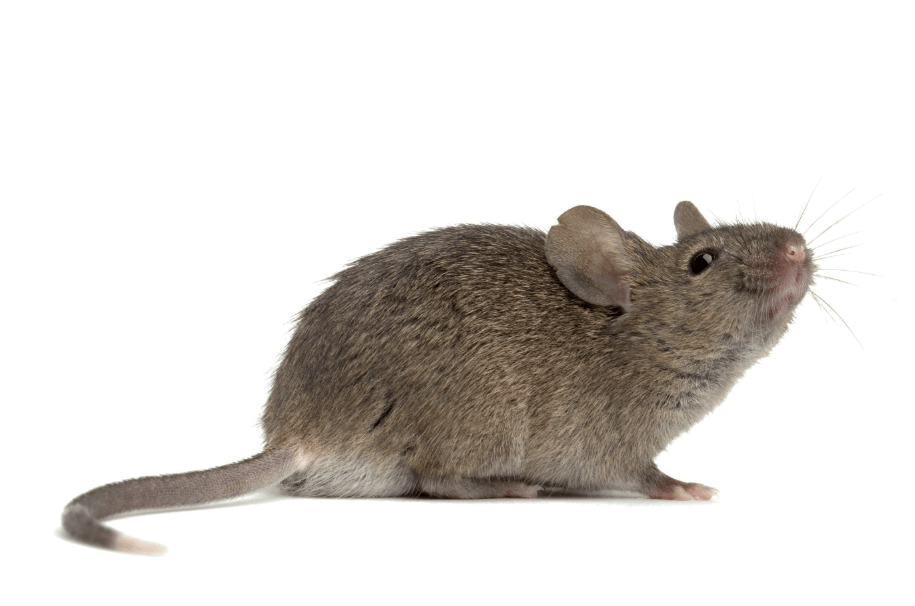 Image showing the color of a mouse