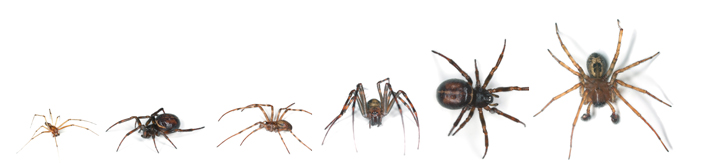 Image showing various spider sizes