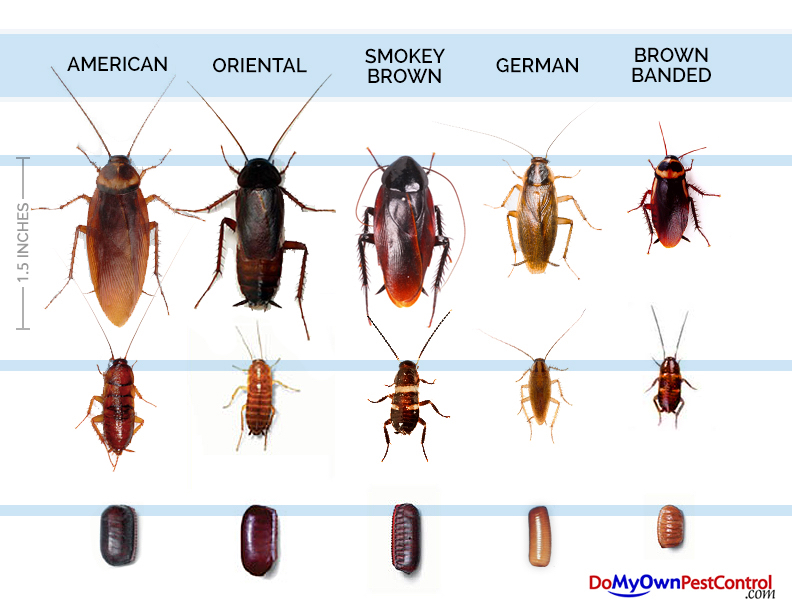 What Does a Cockroach Look Like? | Roach Identification Guide