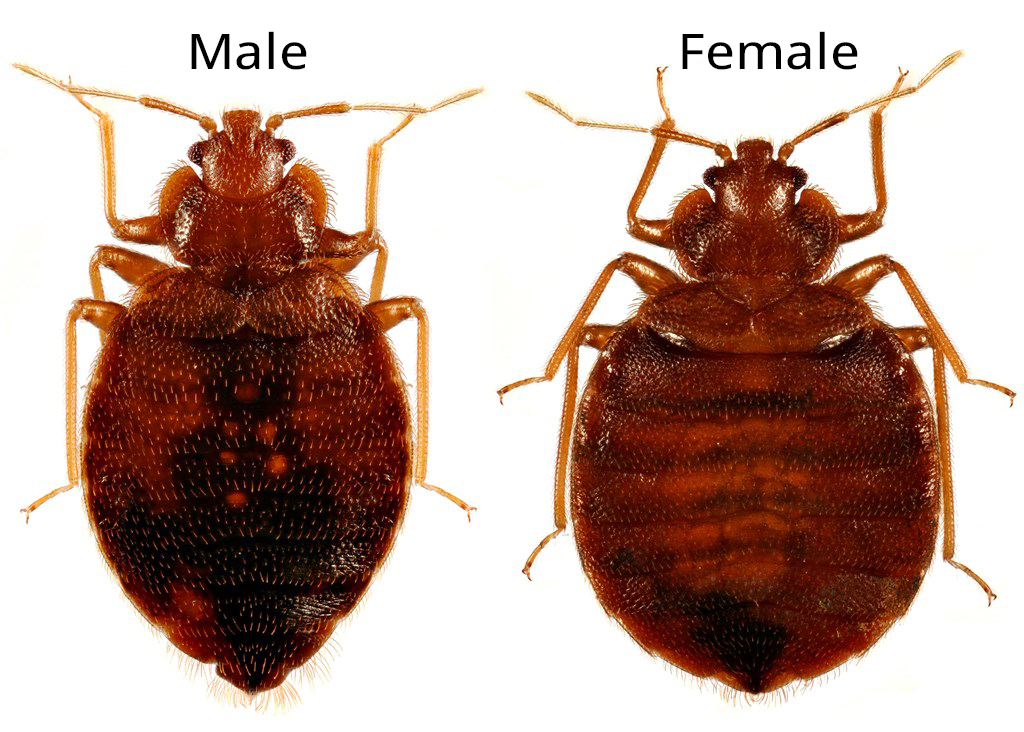 A graphic comparing the sizes of a male and female bed bug