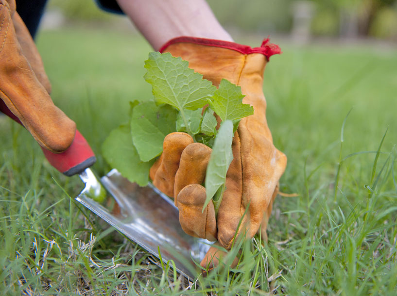 Image of a person pulling weeds out of the lawn