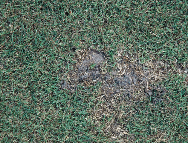 Image of mole cricket damage
