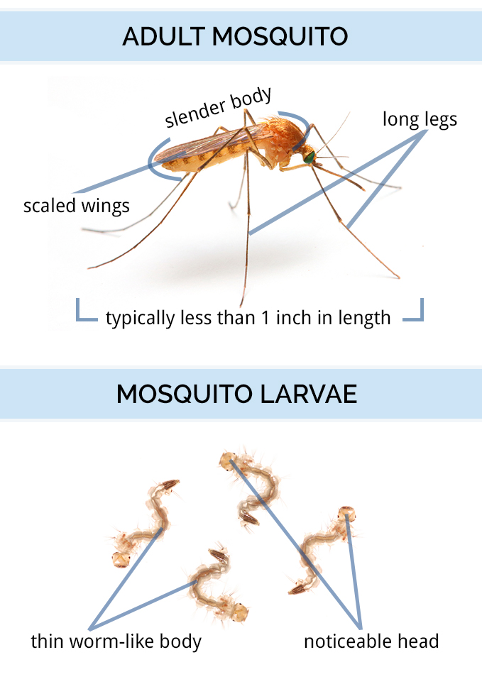 life cycle of mosquito pdf
