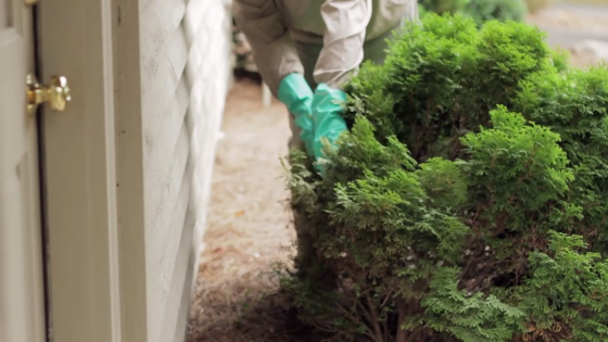 An image of a person trimming back shrubs from the side of a house