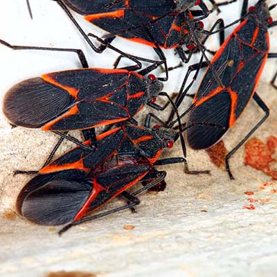 Image of a cluster of boxelder bugs
