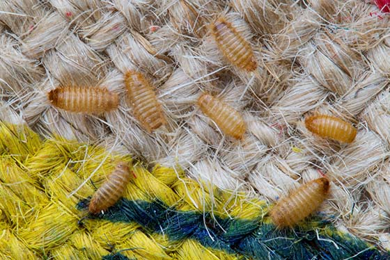 How to Get Rid of Carpet Beetles | Carpet Beetle Treatment Guide