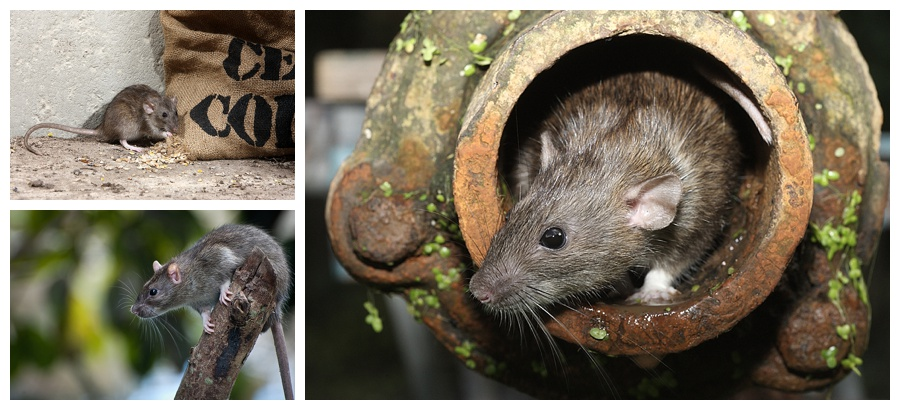 Image montage showing various rats