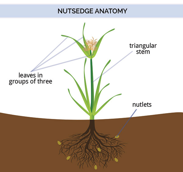 Diagram of nutsedge anatomy