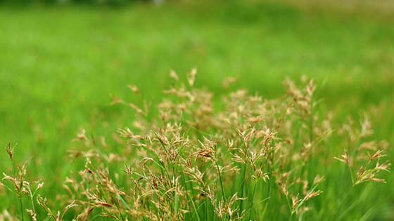 Image of nutsedge growing in a field