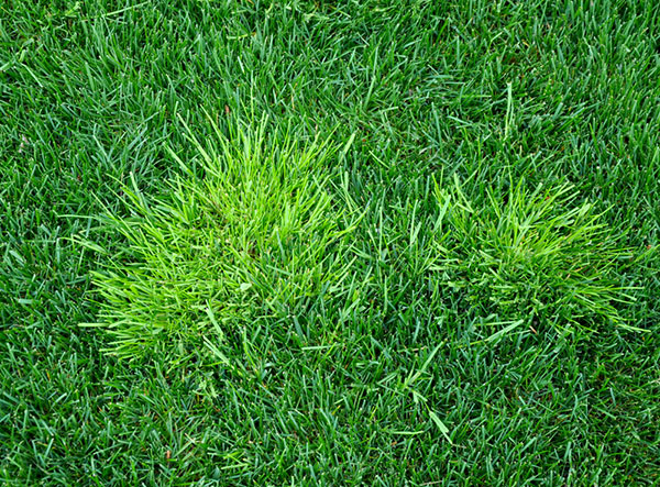 Image of poa annua growing in grass