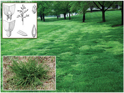 Graphic showing what poa annua looks like