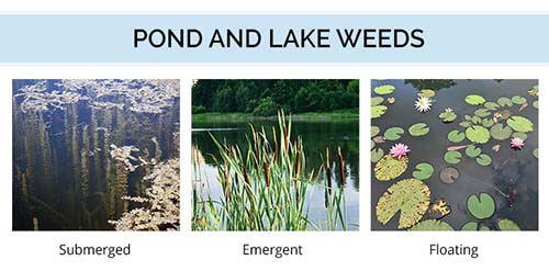 Algae And Weeds In Ponds And Lakes