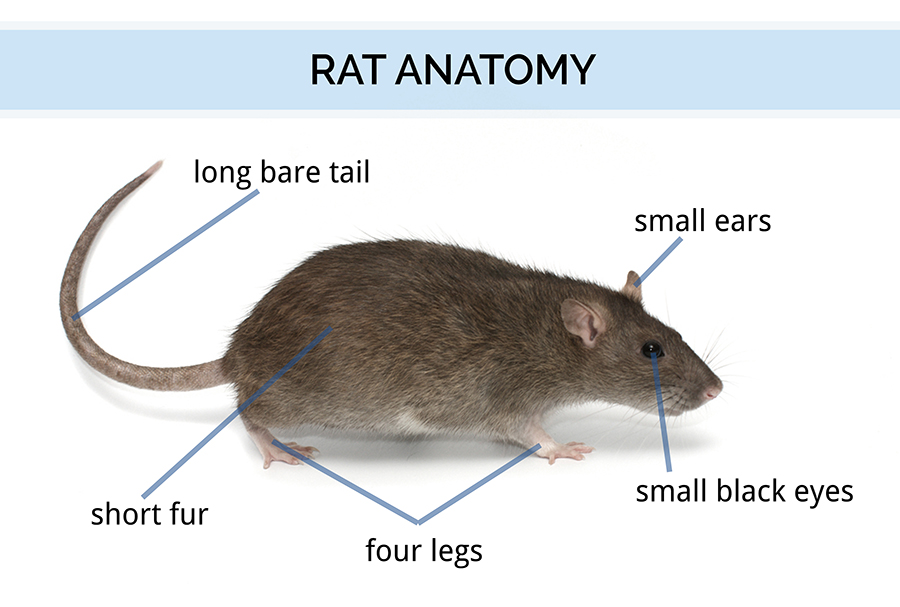 Graphic showing rat anatomy