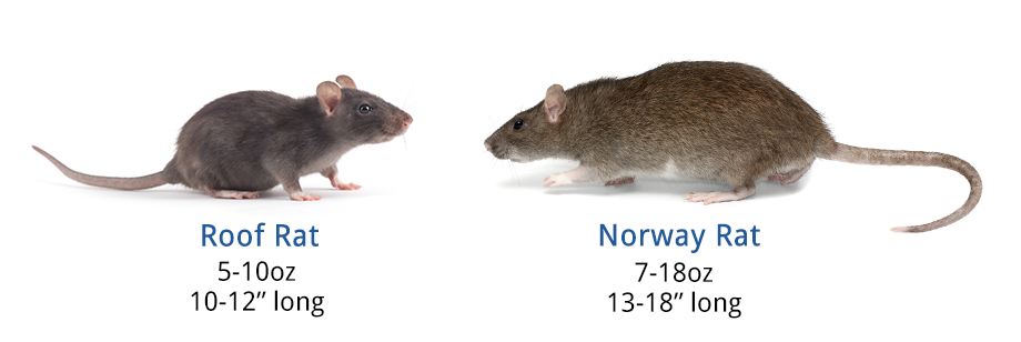 Graphic showing the differences between the roof and Norway rats