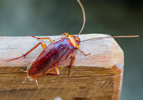 Image of a cockroach climbing wood