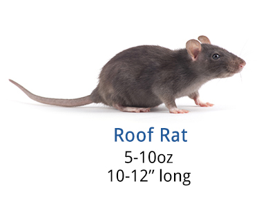 How To Get Rid Of Roof Rats Diy Roof Rat Control Guide