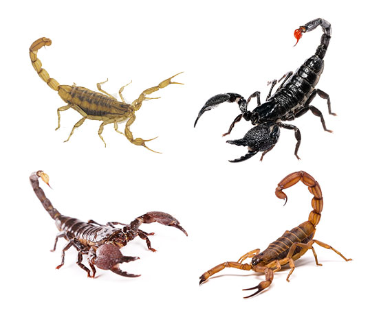 Image montage of various colors of scorpions