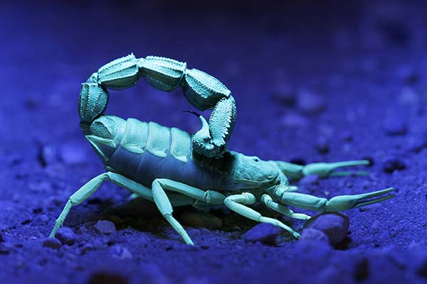 Image of a blue scorpion under a UV or black light