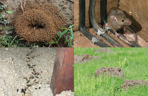 ant mounts and, mole tunnels, rodent damage, and animal feces