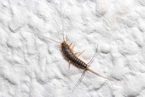 what do silverfish look like silverfish identification guide. Black Bedroom Furniture Sets. Home Design Ideas