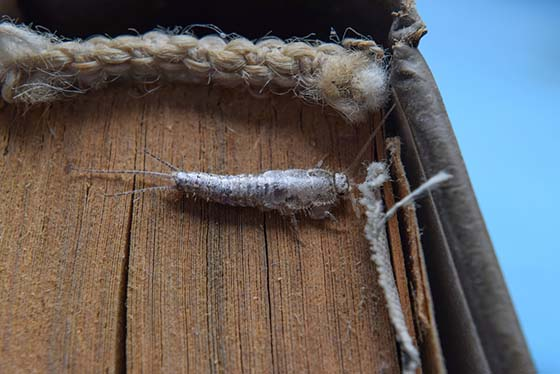 Image of a silverfish on the spine of a book