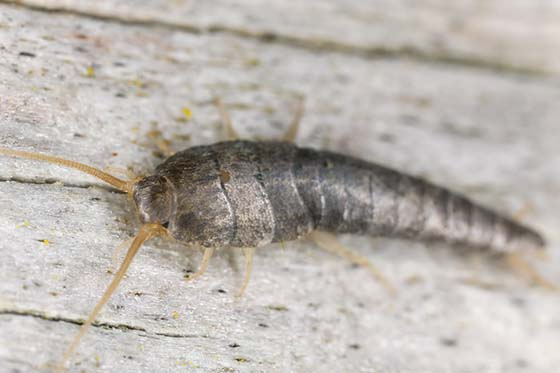 Image of a silverfish