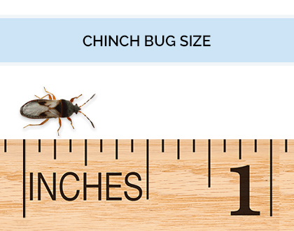 Graphic illustrating the size of a chinch bug