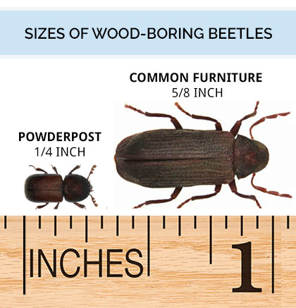 Graphic comparing the various sizes of wood beetles