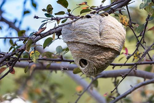 How To Get Rid Of Kill Wasps And Hornets Wasp Nest