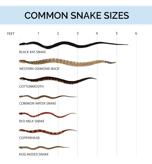 Diagram of common snake sizes