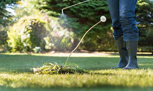 Image of a person spraying herbicide on a lawn weed