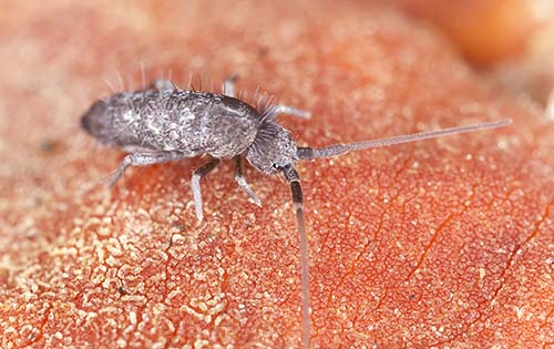 How To Get Rid of Springtails | Do My Own