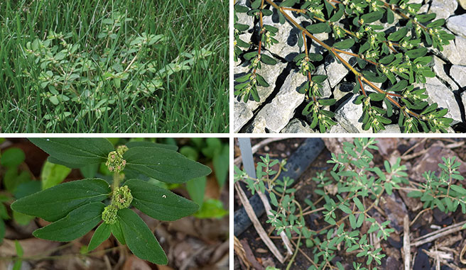 Image montage of spurge
