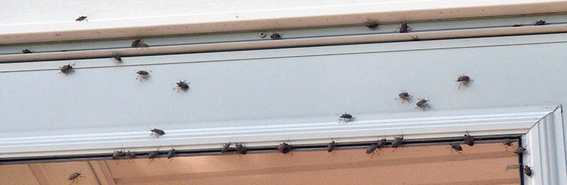 Image of stink bugs gathered around a window frame