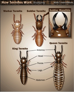 All About Termites - Facts, Life Cycle, Reproduction