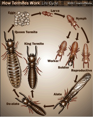 All About Termites Facts Life Cycle Reproduction History More