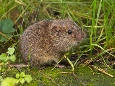 Image of a vole