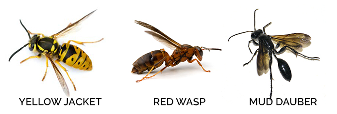 What does a wasp queen look like 11
