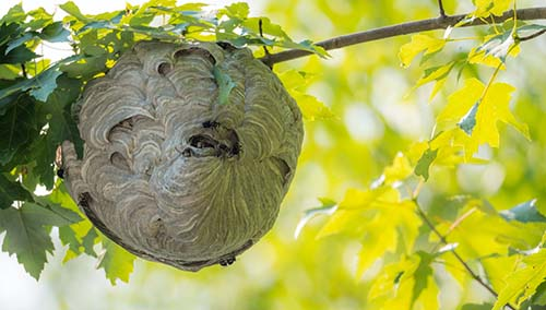 Wasp nest hanging from a tree branch
