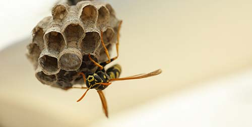 Wasp emerging from a nest