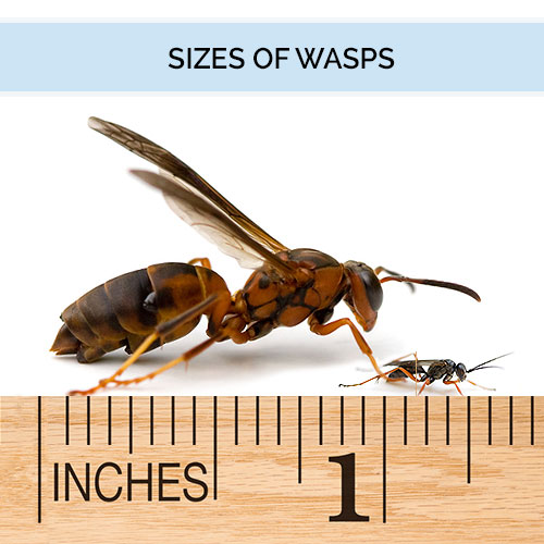 Sizes of various types of wasps