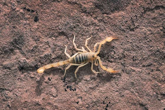 Image of a scorpion on the ground