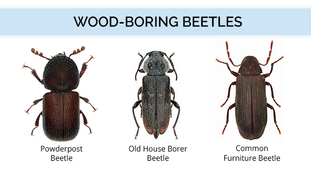 Graphic showing wood boring beetle color