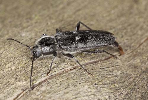 Image of a wood-boring beetle