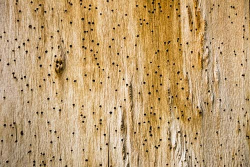 Image showing wood boring beetle damage