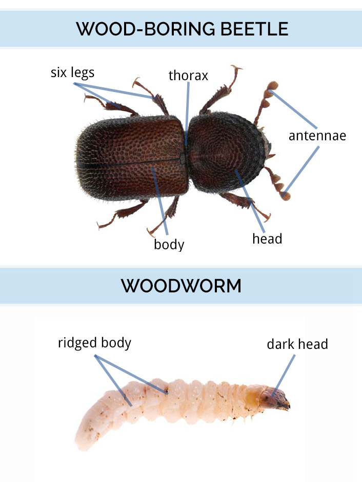 Diagram of wood-boring beetle anatomy