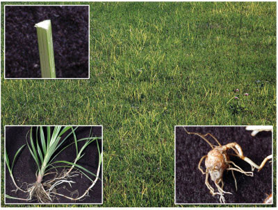 What Does Nutsedge Look like | Nutsedge Weed Identification